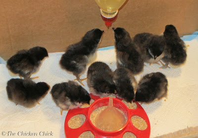 Chicks using poultry niplpe waterer in brooder.
