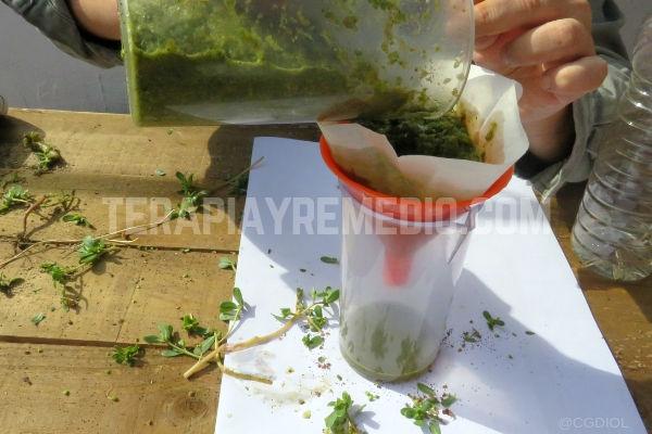 Cómo hacer extracto de Verdolaga, es muy fácil aquí te lo explicamos