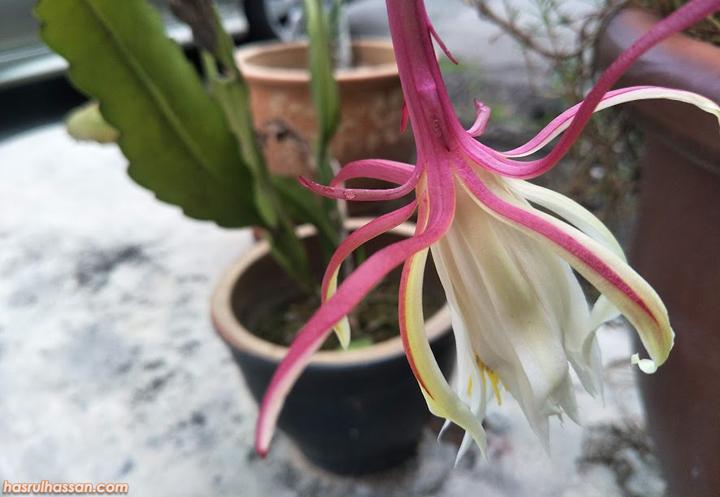 Perkara Mitos Popular Berkaitan Bunga Bakawali