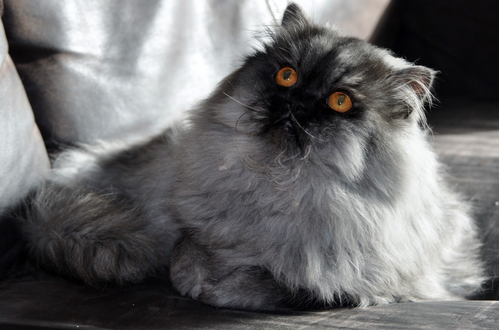 Exotic Shorthairs And Persians In Idaho Kittens On Their