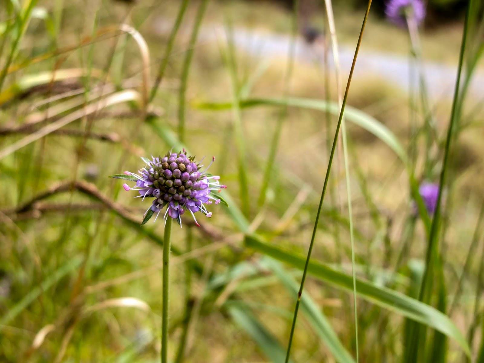 A light purple flower growing along an open path in a forest.