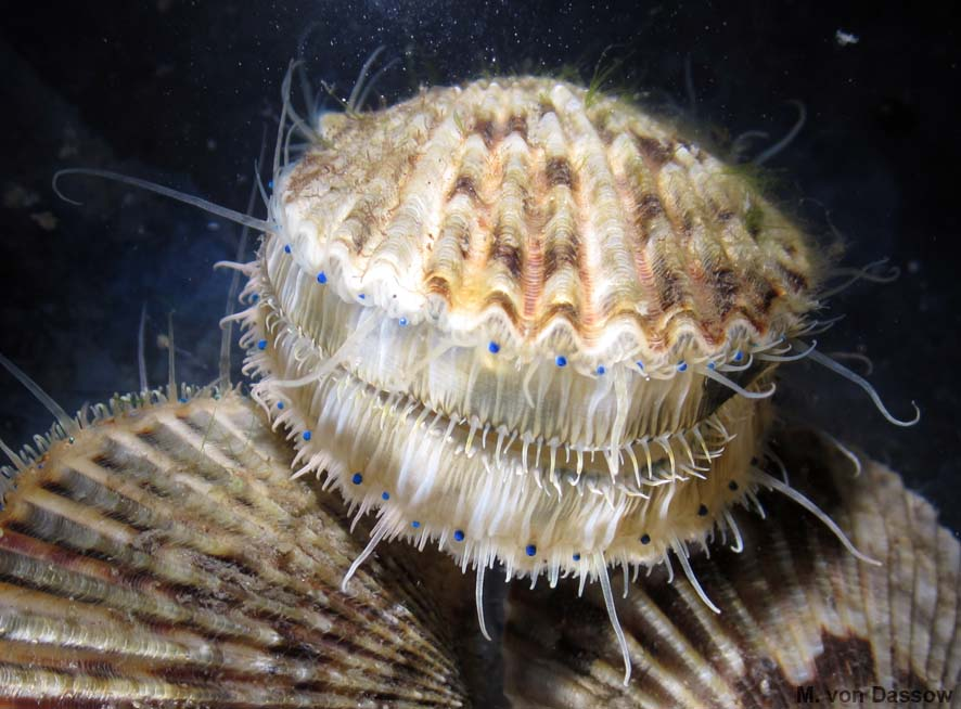 CAN OF VERMES: What do scallops do with all those eyes?