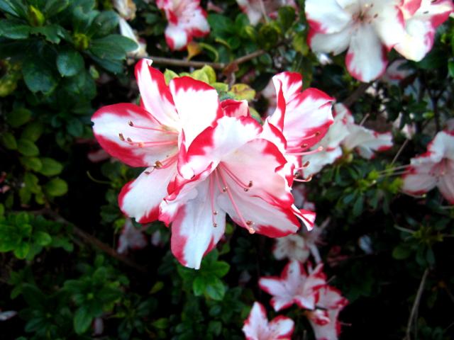 Red white flower Madeira