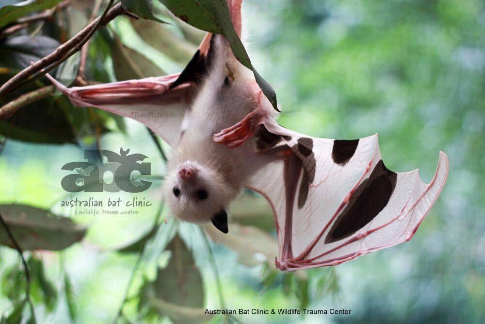 leucistic baby megabat greyheaded lost mum flyingfox