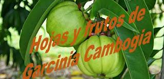 Garcinia Cambogia para adelgazar, características