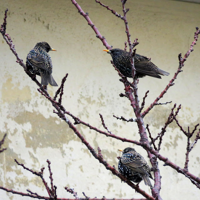 Three starlings on a tree, Spianata del Molo Mediceo, Livorno