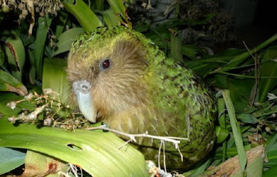 Sequencing the genome of endangered New Zealand parrots
