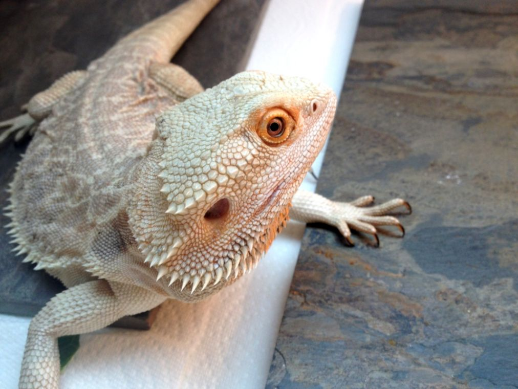 Bearded Dragon Colors And Patterns | Gold Wallpapers