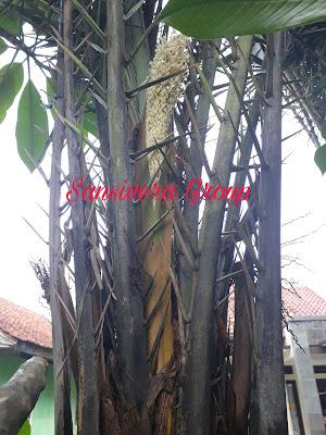 Jual Pohon Korma Murah