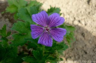 Bodziszek wspaniały- Geranium x magnificum