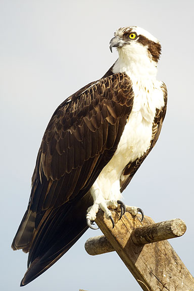 Discuss ways in which the osprey