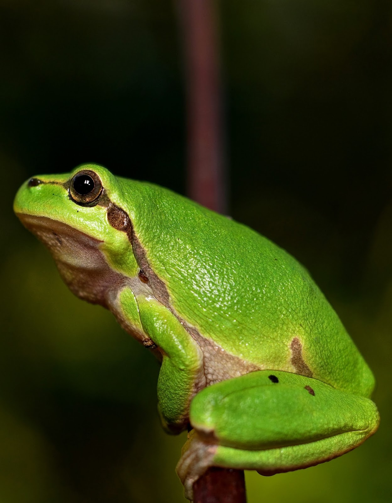 Picture-mediterranean tree frog.