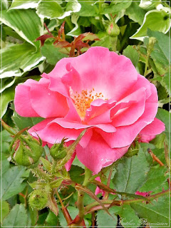 Winnipeg Parks shrub rose