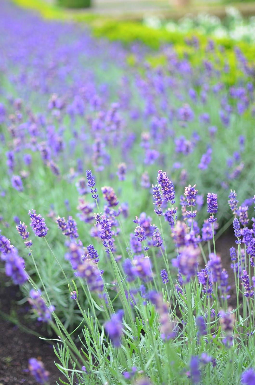 Lavender Drummond Castle Scotland