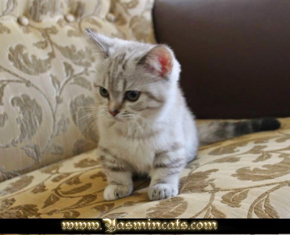Munchkin Kittens : Munchkin Female Cat * Silver Angel from ...