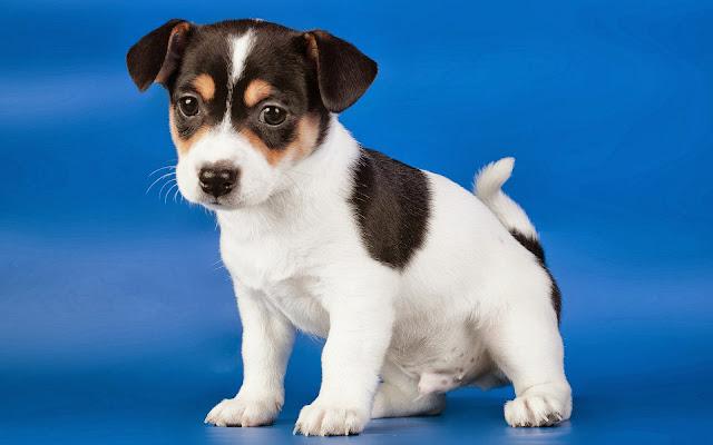 Foto zwart witte puppy