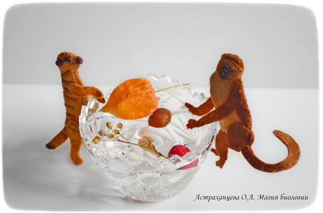 rasprostranenie-plodov-gidrohorija-martyshka-surikat