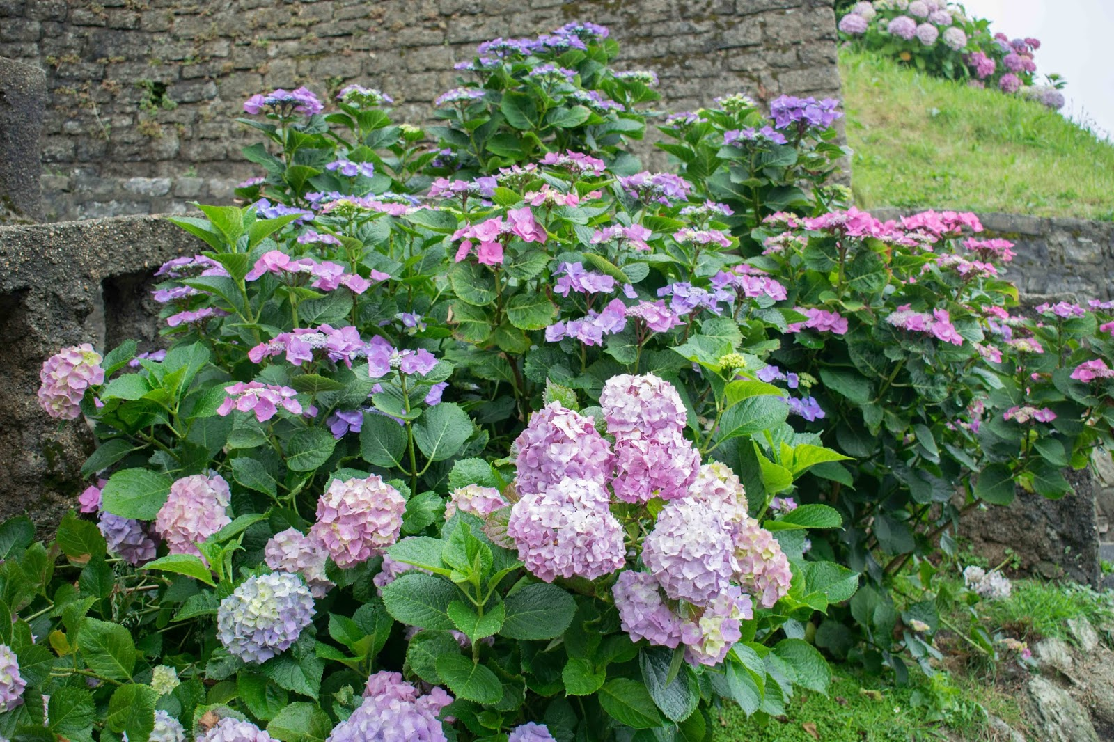 fleurs, hortenzia