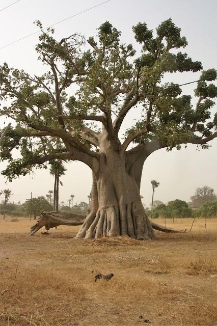 baobab boom Senegal
