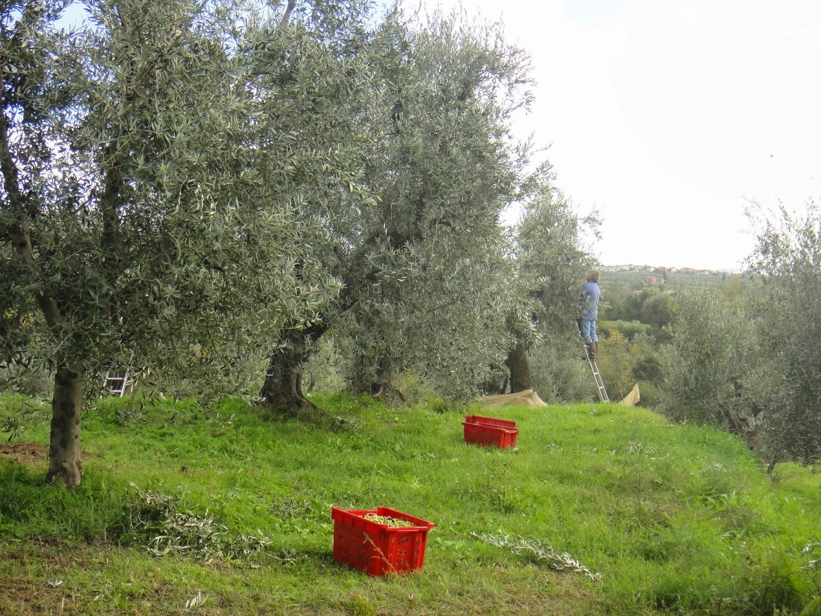 pessoa colhendo azeitona na oliveira