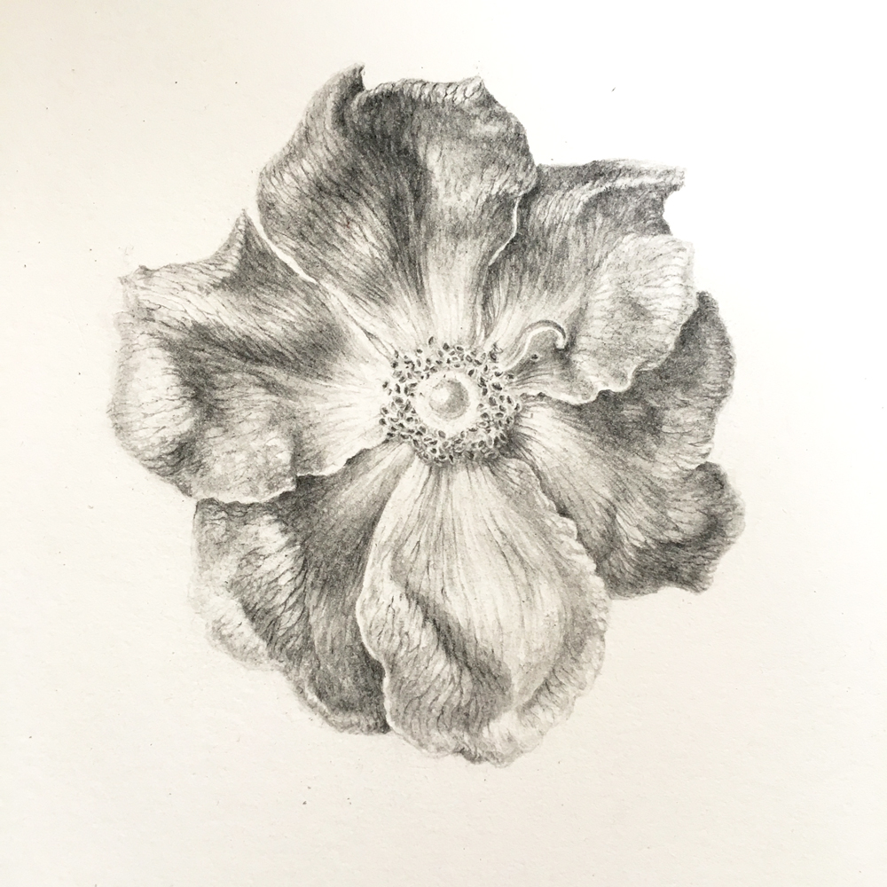 graphite drawing of Rosa gallica