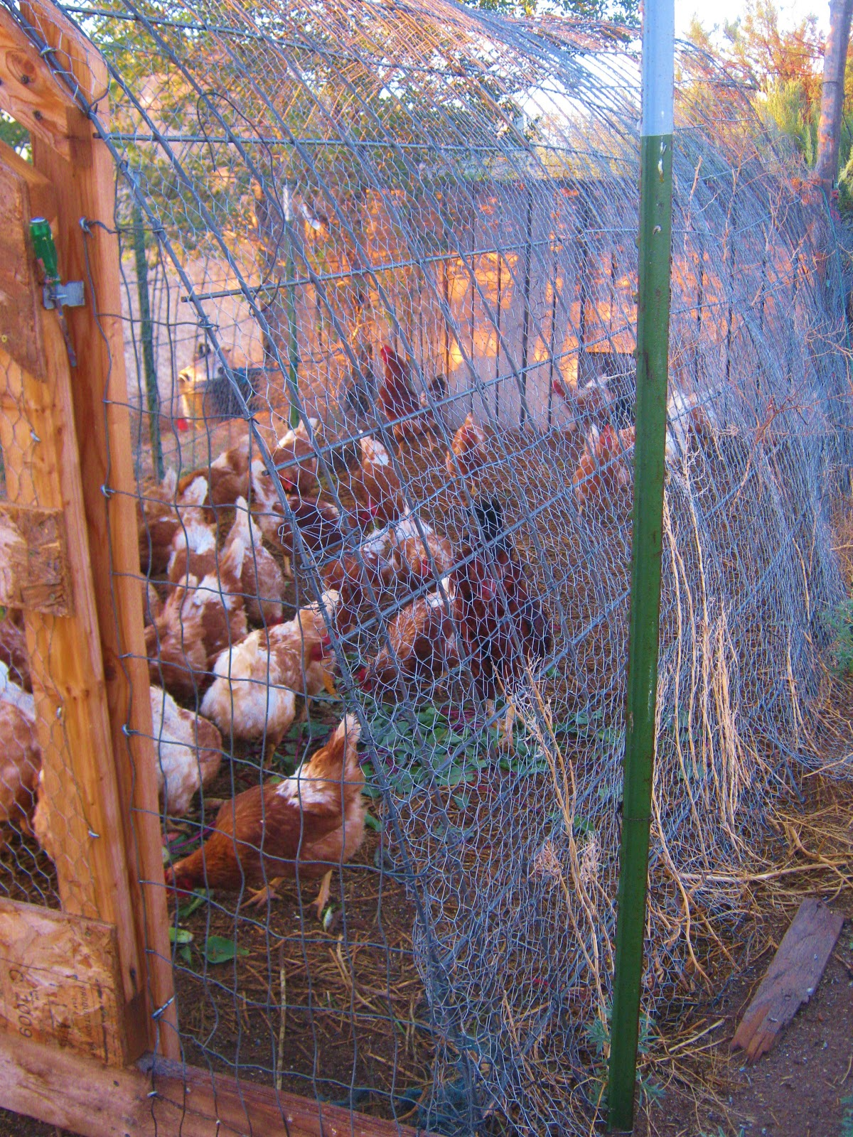 Cricket Song Farm Chicken Run Made From Cattle Panels