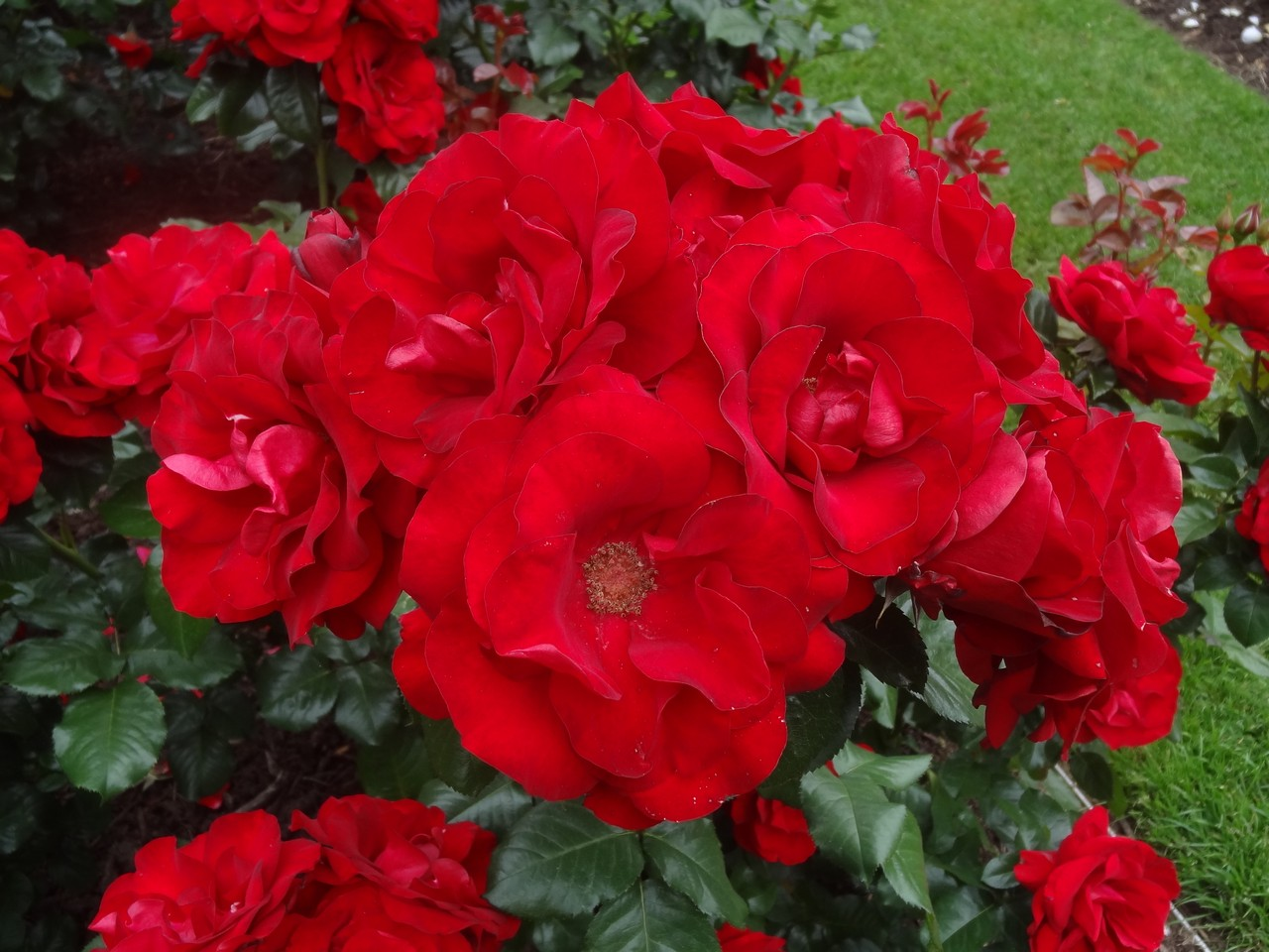 Picture of Live Shrub Rose (bright red) aka Rosa x 'Preference' Plant Fit 5 Gallon Pot