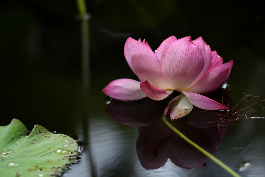 北部公園の花ハス