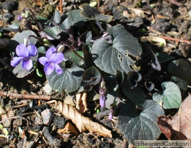Purple violets in flower