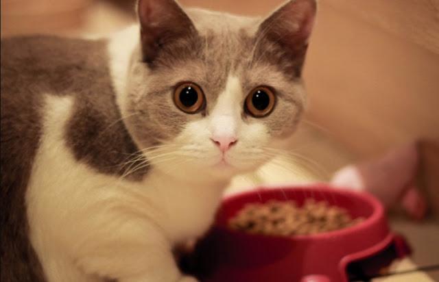 4 Makanan Kucing Sederhana dan Bisa Dibuat Sendiri & 3 Merk Makanan Kucing Yang Bagus