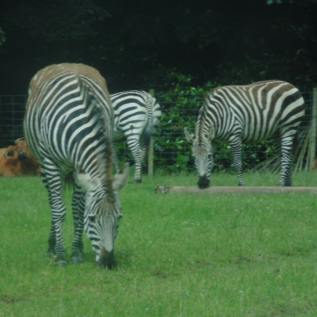 Knowsley safari park, zebras