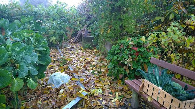Endivien unterm Vlies, frische Ernte mit Nero di Toscana Kohl und Broccolie und ganz viel Herbstlaub  (c) by Joachim Wenk