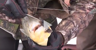 Giant Piranha accidentally bites off a Fisherman's finger