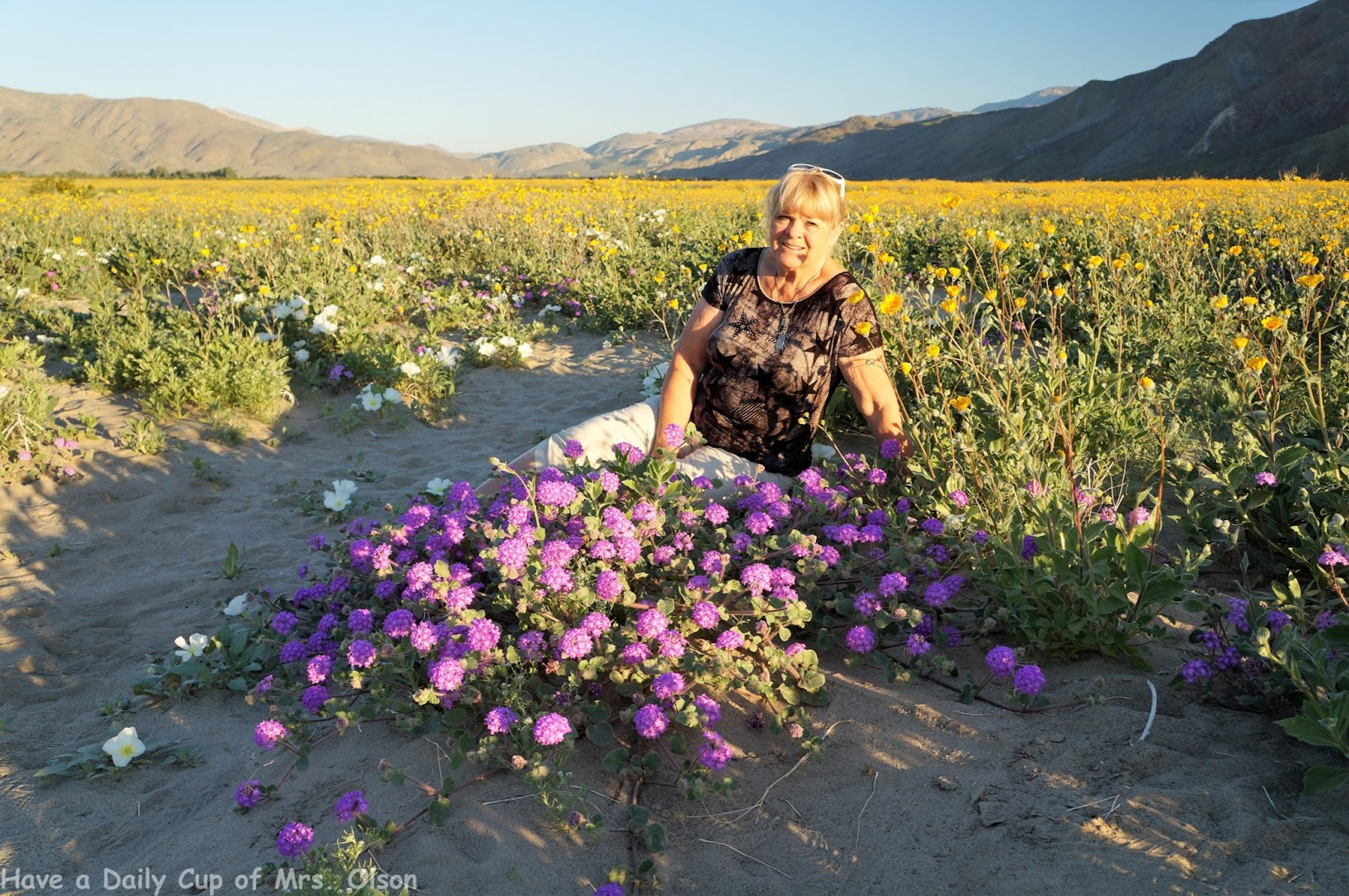 have a daily cup of mrs olson super bloom at anza borrego desert