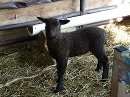 Ram Lamb For Sale