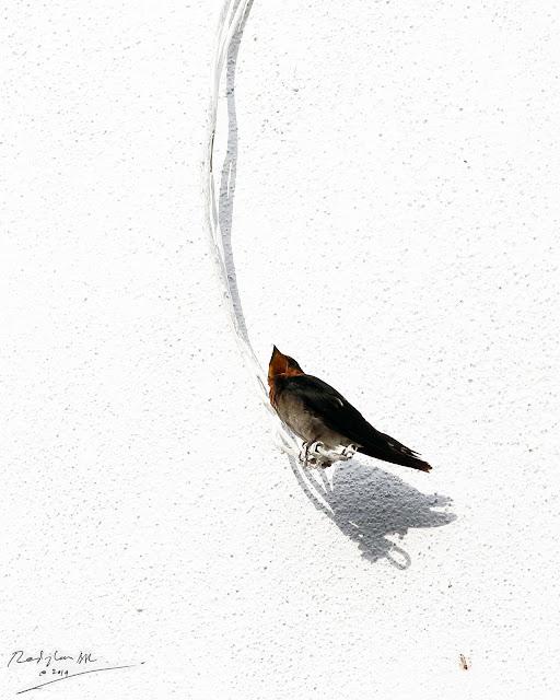Burung Layang-layang, Birding during Eid-Adha Holiday