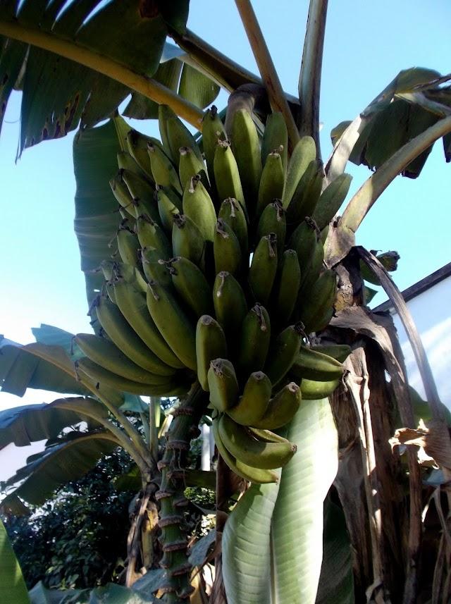 A Cultura da banana e arroz irrigado