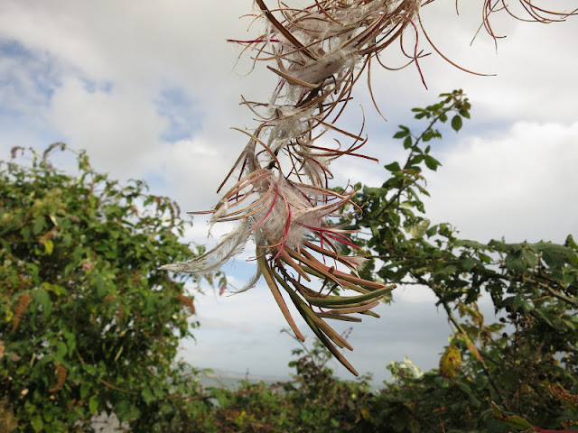 Rose Bay Willow Herb - seeds appearing