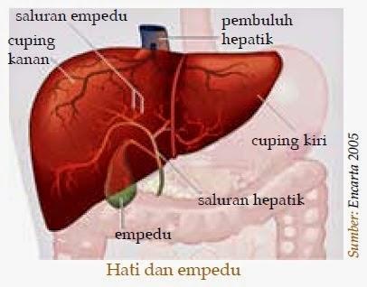 struktur hati