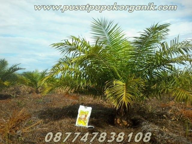 Cara memupuk kelapa sawit yang bagus, tanya jawab pupuk kelapa sawit