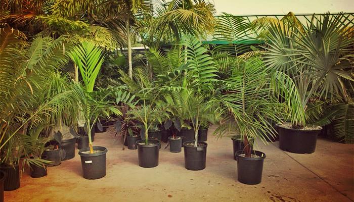 Kentia palmera