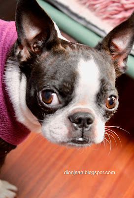 Sinead the small Boston terrier