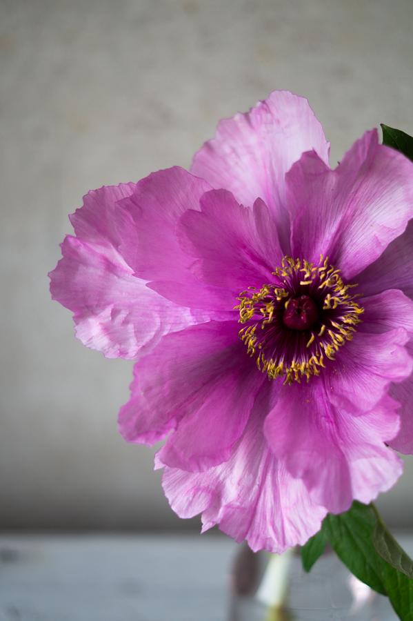 Blog + Fotografie by it's me! | fim.works | Bunt ist die Welt | Blumen | aufgeblühte rosa-fliederfarbene Bauernpfingstrose