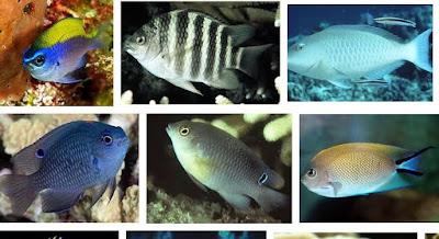 Ikan Lain (Mayor Famili)