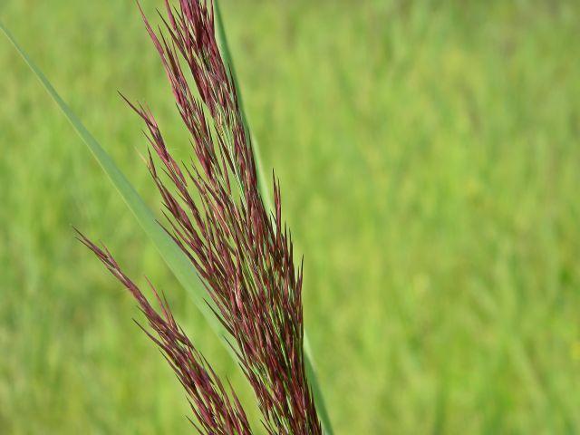 trawy naszych łąk, rośliny zielne, flora