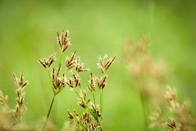 Bunga rumput juga sesuai di jadikan subjek fotografi