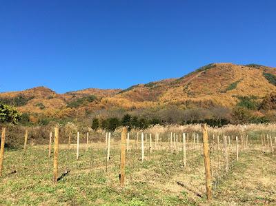 私の長野県長和町のワインぶどうの畑