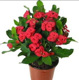 Gambar Bunga Eforbia 1