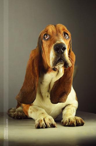 Amazing Animals Basset Hound The Famous Hush Puppies
