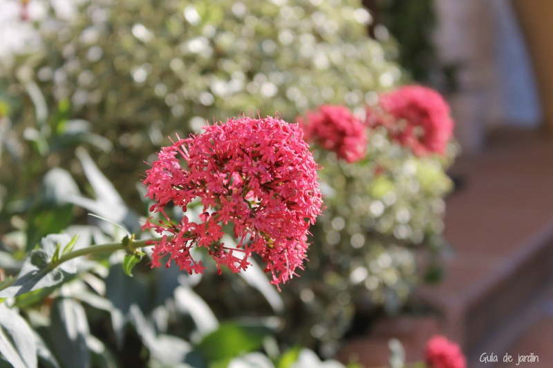 Centranthus ruber, milamores